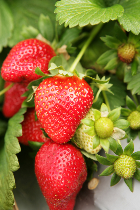Strawberry 'Sweet Charlie' Flat of 18-0