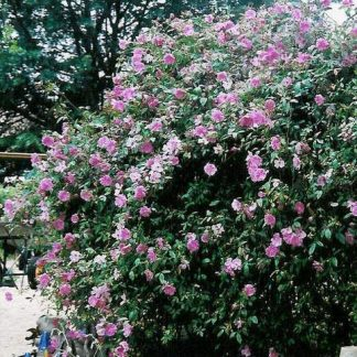 Rosa 'Swamp Rose'-0