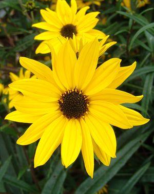 Swamp Sunflower-0