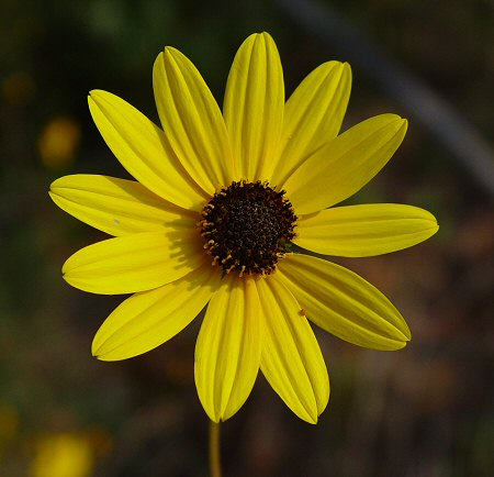 Swamp Sunflower-1642