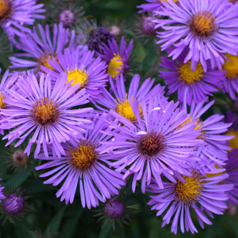 New England Aster 'Purple Dome'-1658