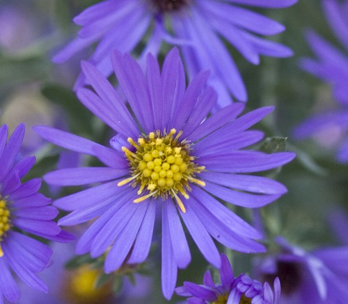 New England Aster 'Purple Dome'-0