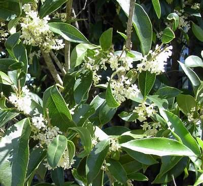 Fragrant Tea Olive-1046
