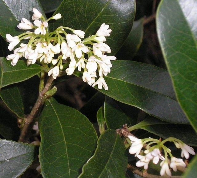 Fragrant Tea Olive-1047