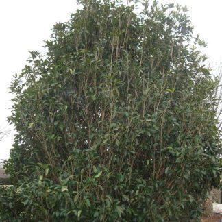 Fragrant Tea Olive-0
