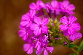 Phlox Paniculata 'Texas Pink'-177