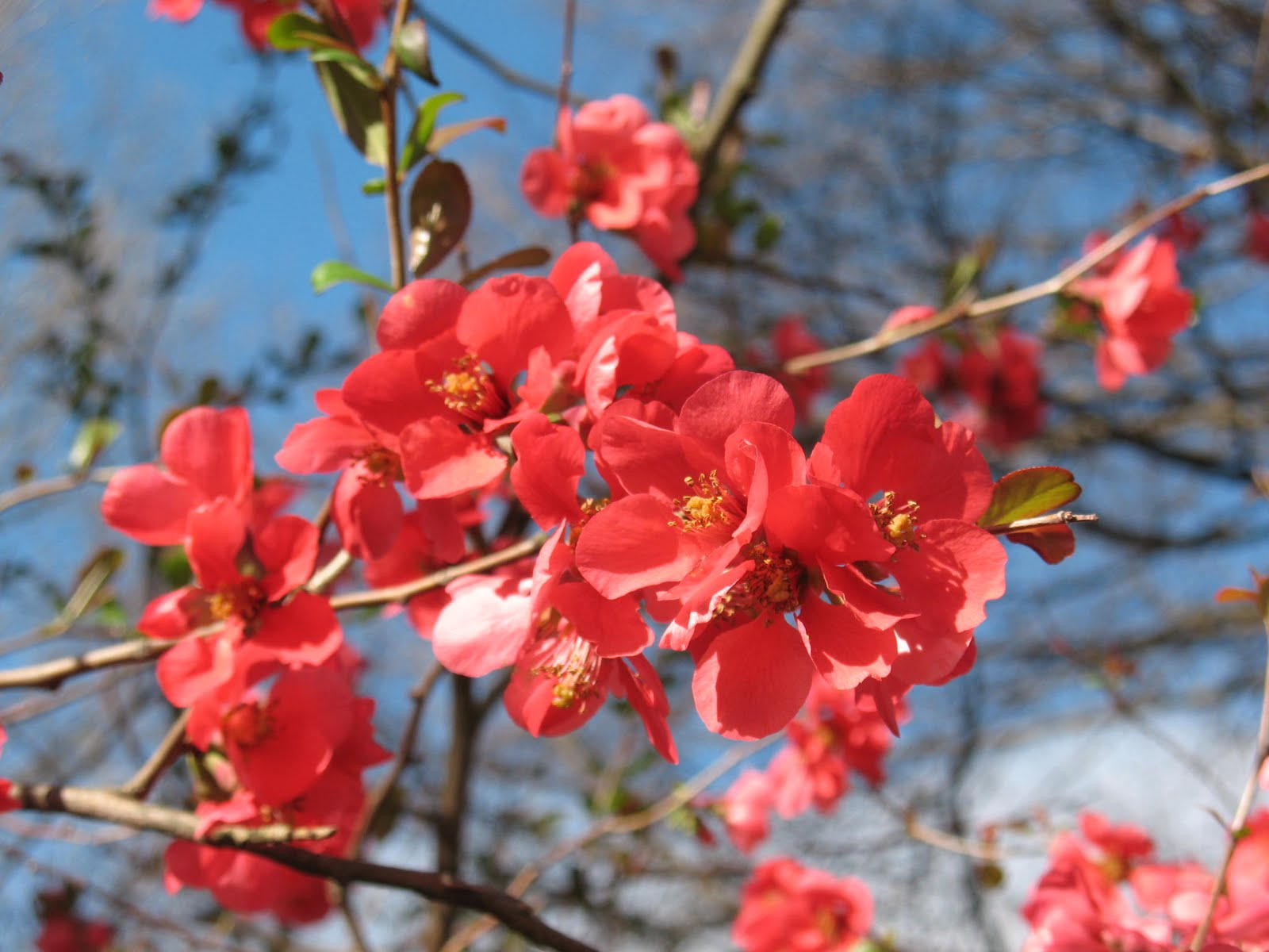 Quince 'Texas Scarlet'-0