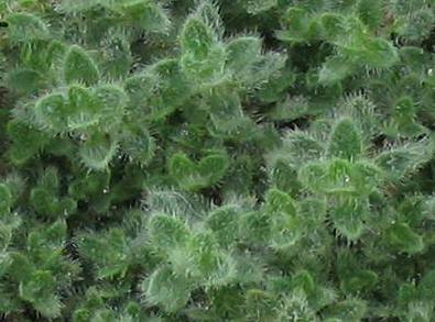 Thyme 'Wooly'-603