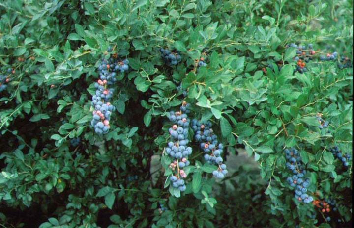 Blueberry 'Tifblue'-0
