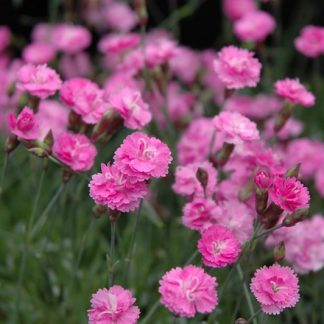 Dianthus 'Tiny Rubies'-0