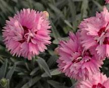 Dianthus 'Tiny Rubies'-70