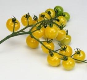 Tomato 'Snowberry'-0