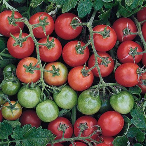 Tomato 'Tommy Toe'-0