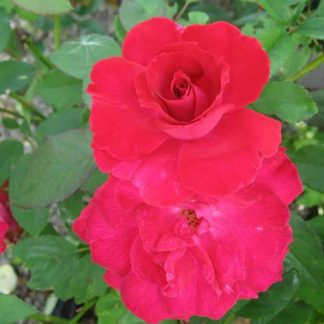 Rose 'Valentine'-0