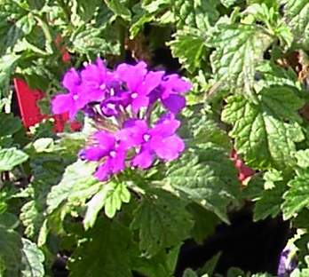 Verbena 'Homestead Purple'-0