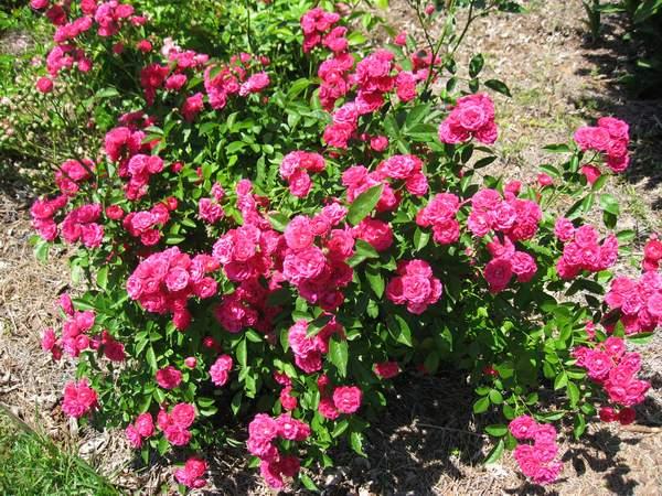 Rose 'Verdun'-908