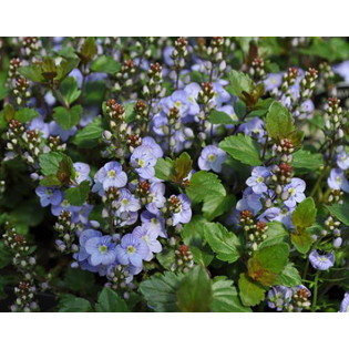 Creeping Veronica 'Water Perry Blue'-0