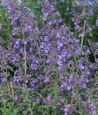 Catmint 'Walkers Low'-715
