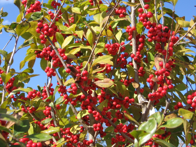 Warren's Red Possumhaw-1569