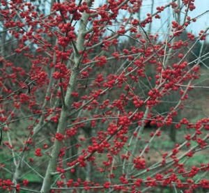Ilex 'Warren's Red'-1087