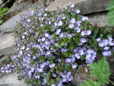 Creeping Veronica 'Water Perry Blue'-52