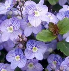 Creeping Veronica 'Water Perry Blue'-53