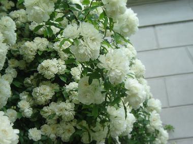 Rose 'Lady Banks White'-980