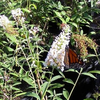 Butterfly Bush 'White Profusion'-0