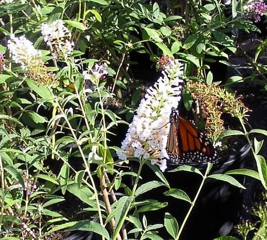 Butterfly Bush 'White Profusion'-0
