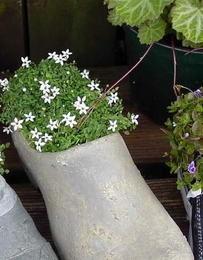 Pratia pedunculata - White Star Creeper-0