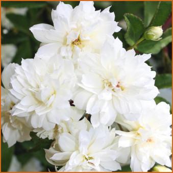 Rose 'Lady Banks White'-981