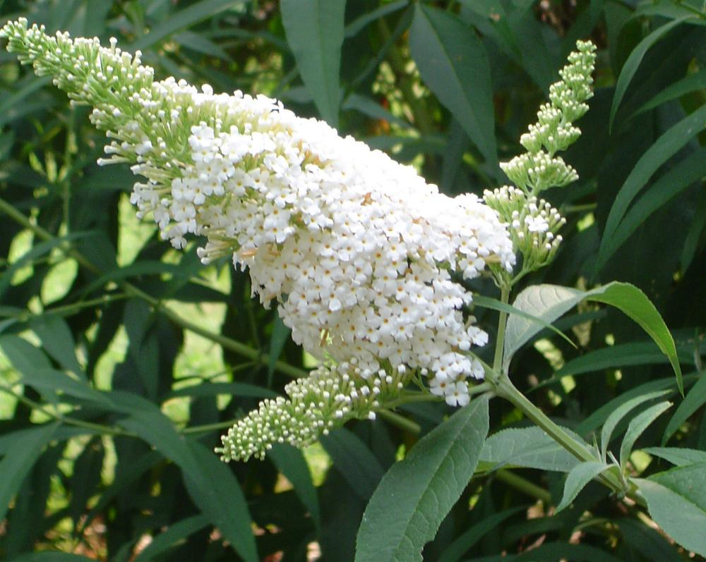 Butterfly Bush 'White Profusion'-1029