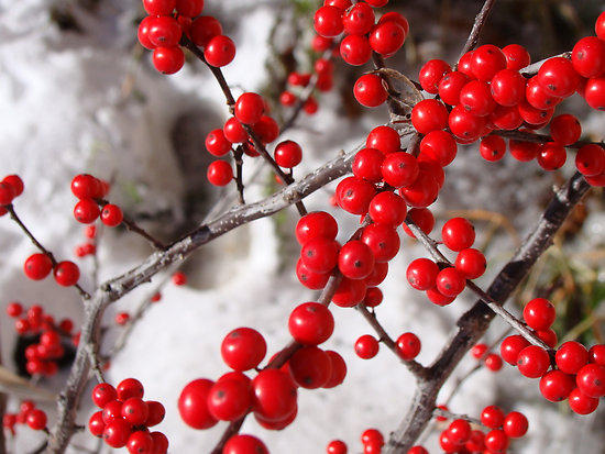 Ilex 'Winter Red'-1091