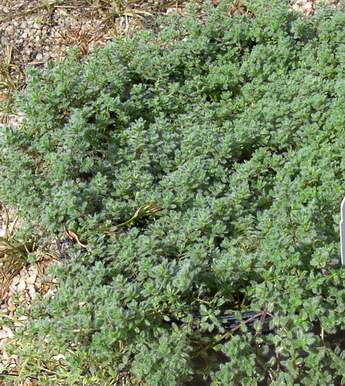 Thyme 'Wooly'-0