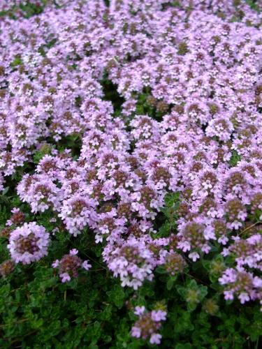 Thyme 'Wooly'-602
