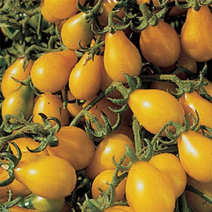 Tomato 'Yellow Pear'-0