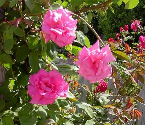 Rose 'Zephirine Drouhin'-776